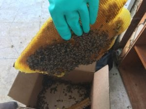 Bee Relocation in Lakeland, Florida